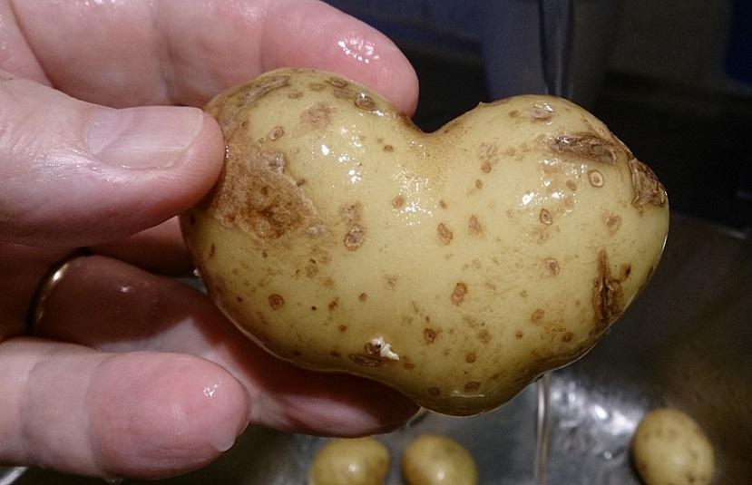 Potatisens lov